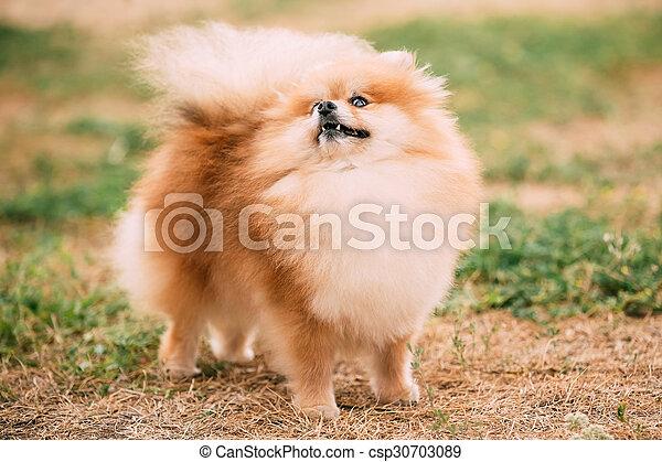 Pomeranian Hund Porträt Klein Spitz Rotes