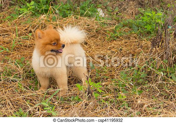 Amazing Pomeranian Brown Adorable Dog - pomeranian-in-grass-cute-dog-pet-stock-photos_csp41195932  2018_292085  .jpg