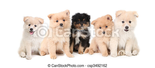 Pomeranian Puppies LIned up on White Background - csp3492162