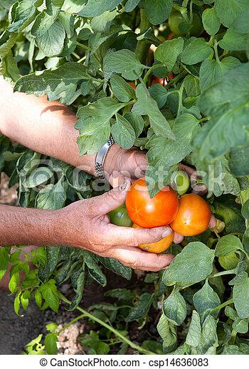 pomidor, wole - csp14636083