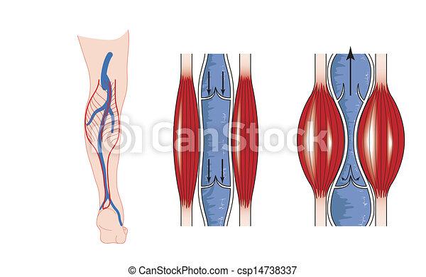 pompe, muscle, veau - csp14738337