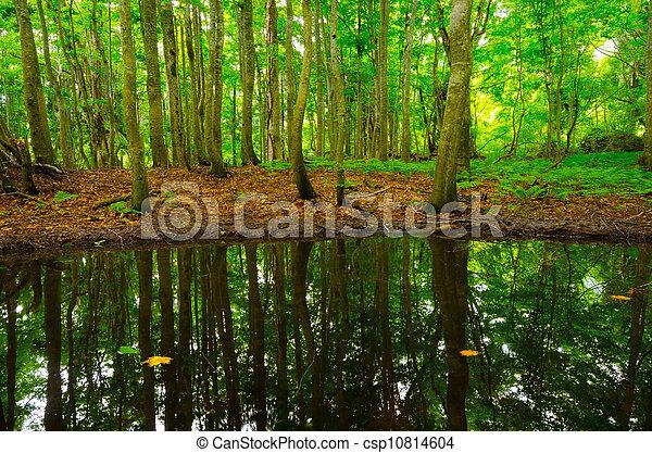 pond in beech forest, Shirakami Sanchi World Heritage, Japan. - csp10814604