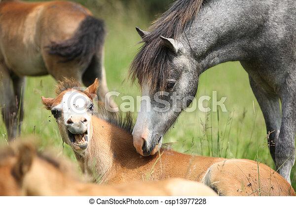 poney, poulain, réunion, effrayé, jeune - csp13977228