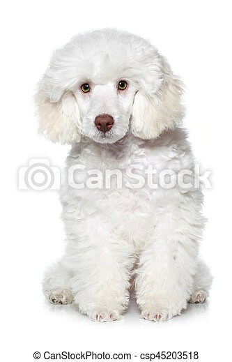 Poodle Puppy On A White Background White Toy Poodle Puppy Sits On White Background Canstock
