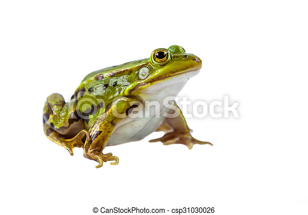 Pool frog male on white - csp31030026