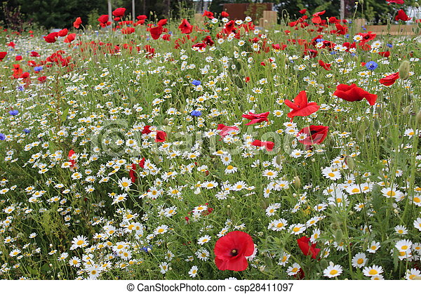 Poppies and wild flowers england poppies in wild flower meadow in poppies and wild flowers england csp28411097 mightylinksfo