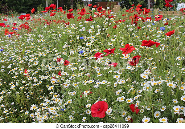 Poppies and wild flowers england poppies in wild flower meadow in poppies and wild flowers england csp28411099 mightylinksfo
