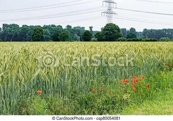 Poppies grow near a field of barley. Poppies on the background of a barley field. - csp80054081