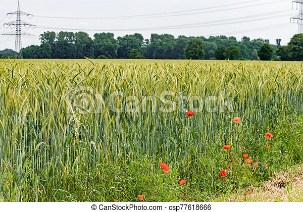 Poppies grow near a field of barley. Poppies on the background of a barley field. - csp77618666