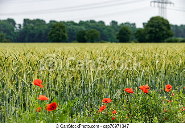 Poppies grow near a field of barley. Poppies on the background of a barley field. - csp76971347