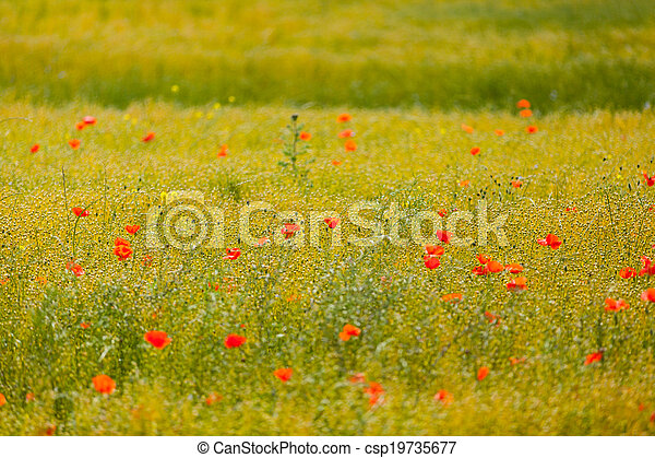 poppies in a field of flax - csp19735677