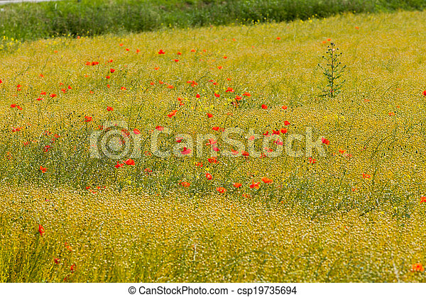 poppies in a field of flax - csp19735694