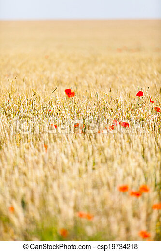 poppies in a field of wheat - csp19734218