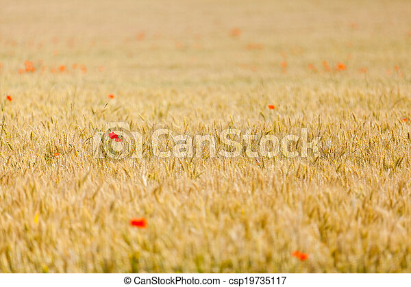 poppies in a field of wheat - csp19735117