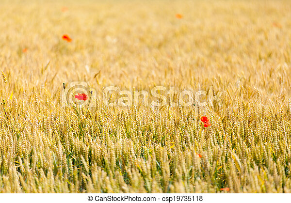 poppies in a field of wheat - csp19735118