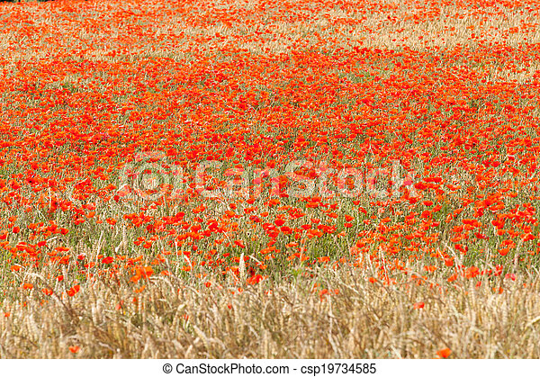 poppies in a field of wheat - csp19734585