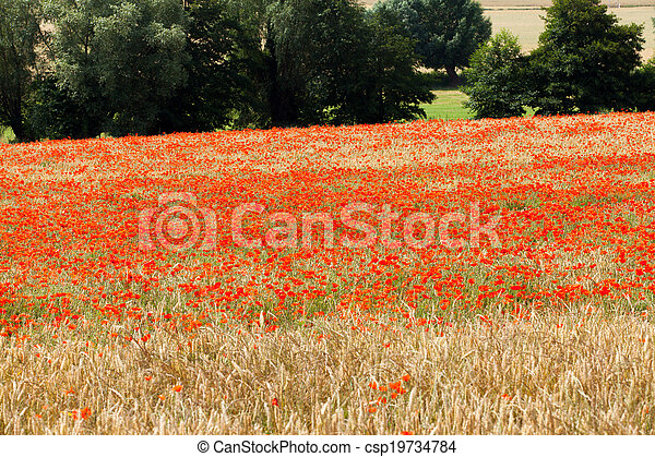 poppies in a field of wheat - csp19734784