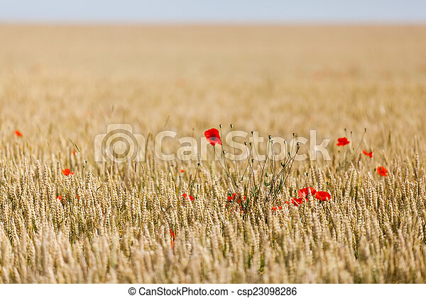 poppies in a field of wheat - csp23098286