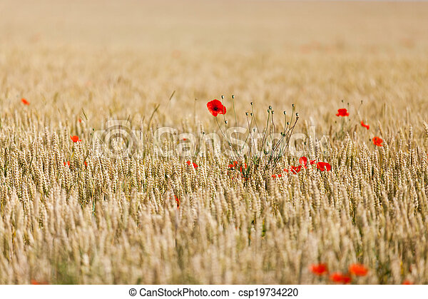 poppies in a field of wheat - csp19734220