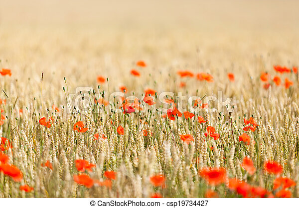 poppies in a field of wheat - csp19734427