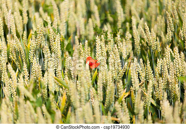 poppies in a field of wheat - csp19734930