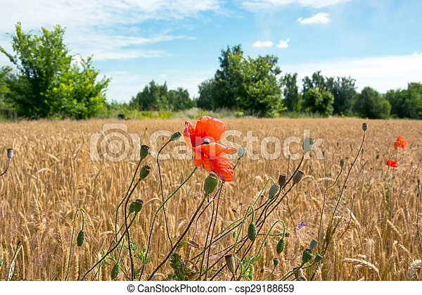 Poppies in a wheat field - csp29188659