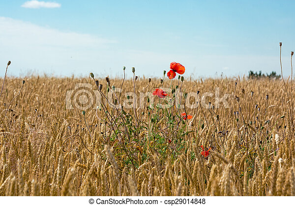 Poppies in a wheat field - csp29014848