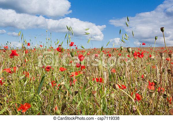 Poppies in a Wheatfield - csp7119338