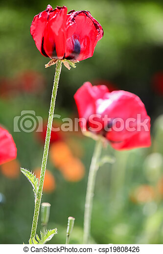 Poppies in the field - csp19808426