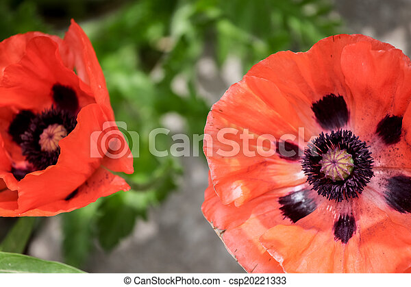 Poppies in the field - csp20221333