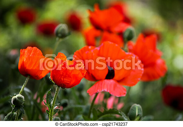 Poppies in the field - csp21743237