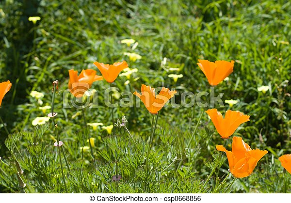 Poppies in the Sun - csp0668856