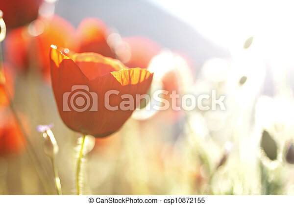 poppies in the sun - csp10872155