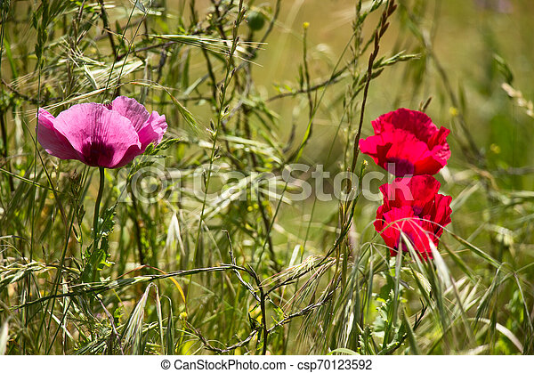 Poppies in the Sun - csp70123592