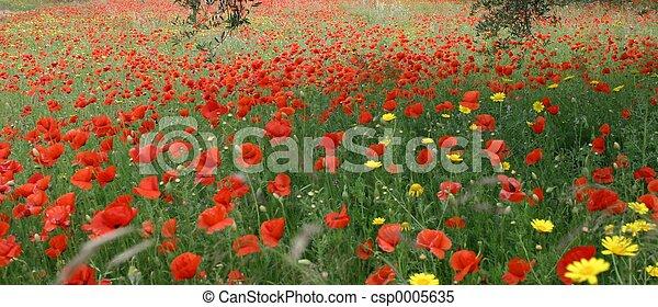 poppies - csp0005635