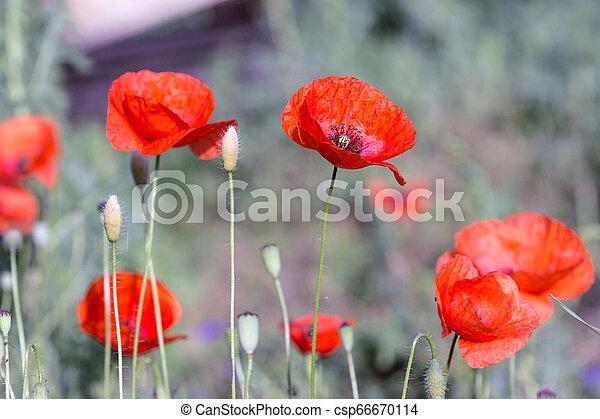poppy field in a sunny day - csp66670114