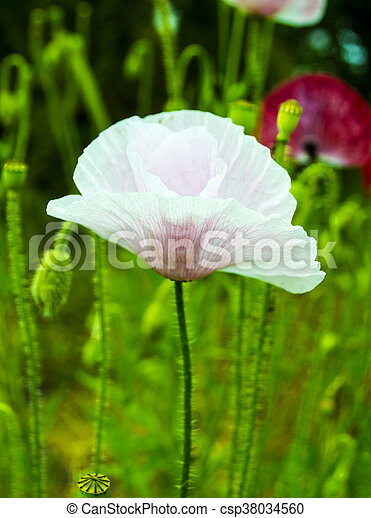 Poppy. field of bright corn poppy flowers. white poppy. papaver ...
