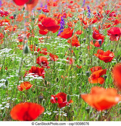poppy field - csp19398076