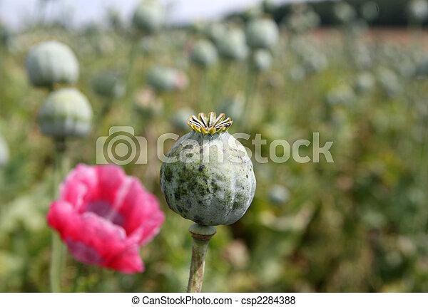 Poppy field - csp2284388