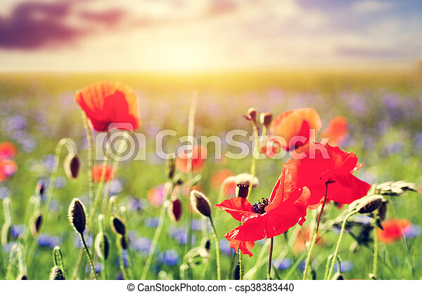 Poppy field poppies flowers close up summer landscape at sunset poppy field poppies flowers close up summer landscape at sunset csp38383440 mightylinksfo