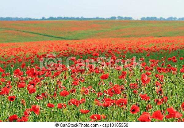 Poppy field - csp10105350