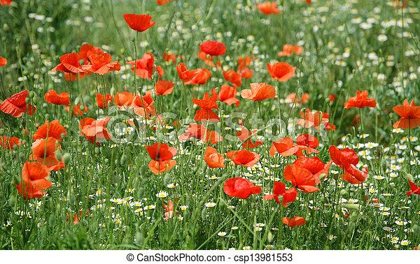 Poppy field - csp13981553