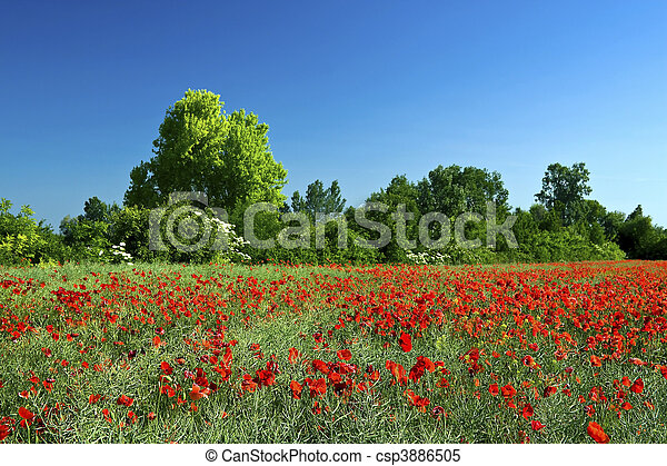 poppy field - csp3886505