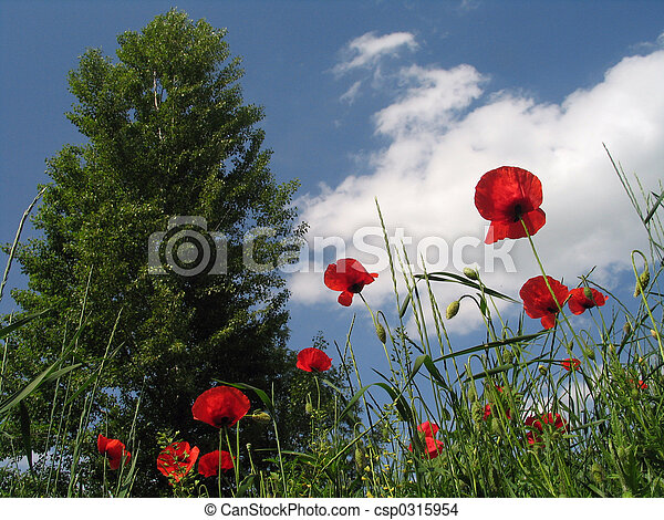 Poppy Field - csp0315954