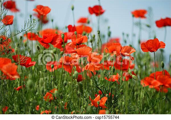 Poppy field - csp15755744