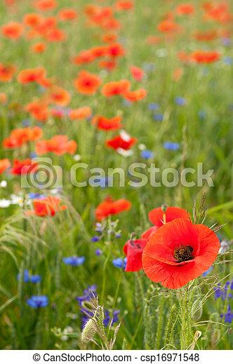 Poppy field - csp16971548