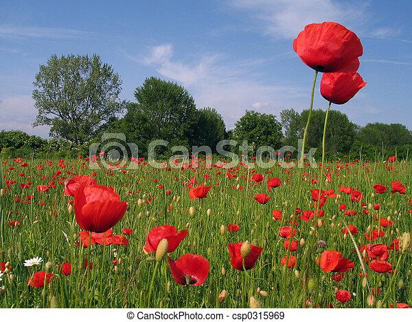 Poppy Field - csp0315969