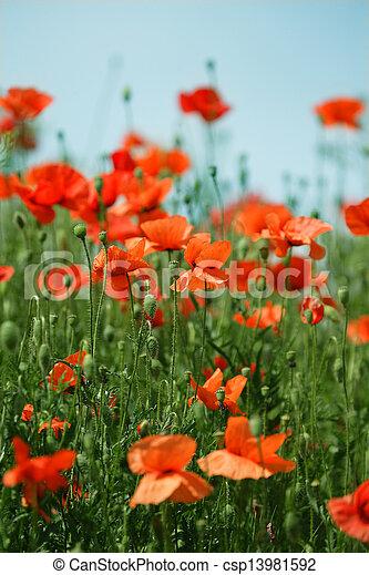 Poppy field - csp13981592