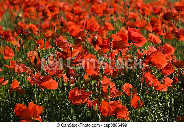 poppy field - csp3886499