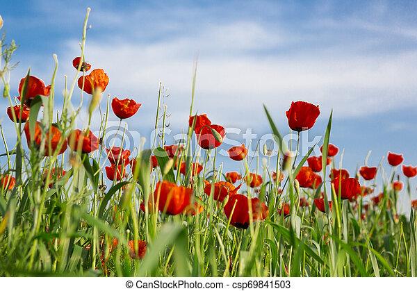 poppy field - csp69841503